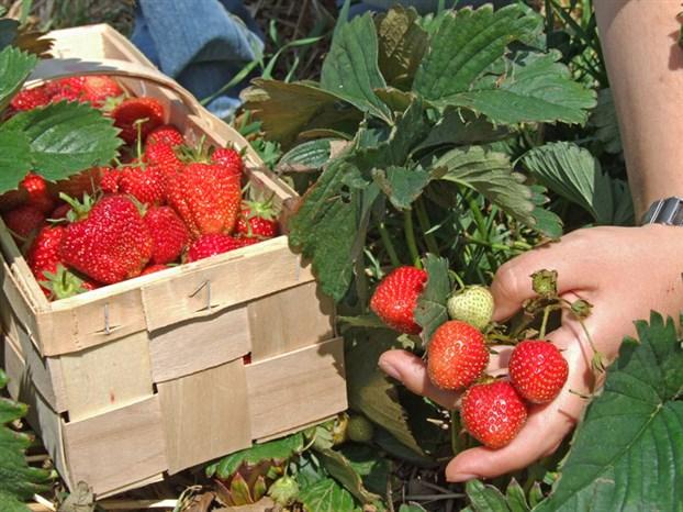 libre cueillette fraises